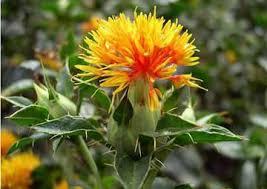 saflower flower